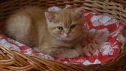 продаю британского короткошерстного котёнка